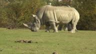 white rhino (Ceratotherium simum) video