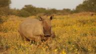 White rhinoceros and calf video