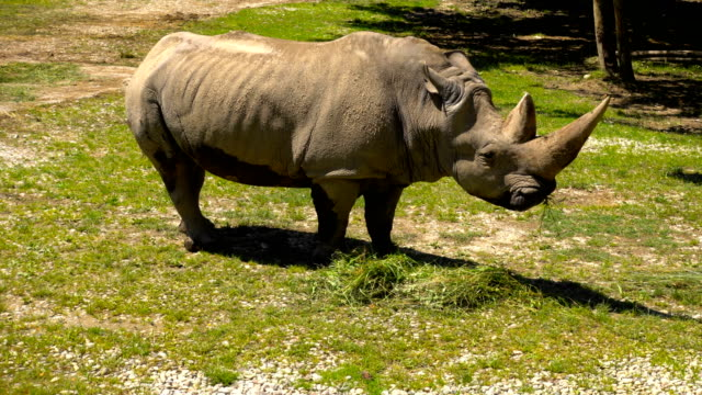 White rhinoceros and grass video