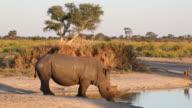 White rhinoceros drinking video