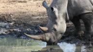 White rhinoceros drinking water video