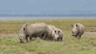 White rhinoceros feeding video