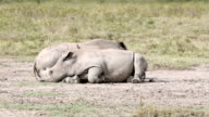 White Rhinos with bird - tired video
