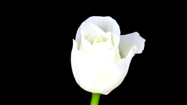 White Rose blossom; TIME LAPSE video