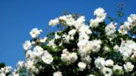 White Roses video