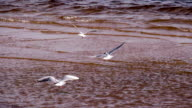 White Seagull Flying Over the Surf video