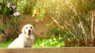 white senior labrador dog in the garden video