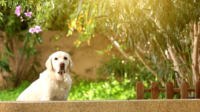 white senior labrador dog in the garden video