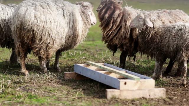 white sheeps on the farm video