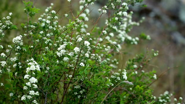 White small flowers grow on mountain in the spring video