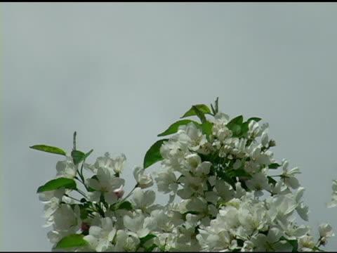 White Spring Blossoms 2 video