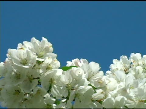 White Spring Blossoms 4 video