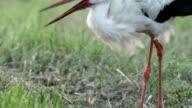 White stork video