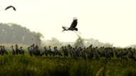 White storks flying video
