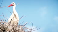 white storks with offspring on nest. The white stork (ciconia ciconia) video