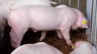 White sucking pig video
