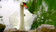 White Swan and Duck video