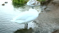 White swan clean his feathers video