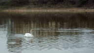 White swan floating in a river near the bridge video