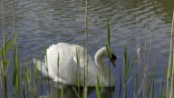 White swan floating on pond surface. Raccoons and grasses in foreground. video