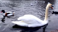 White swan in the water video
