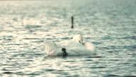 White swan on lake video