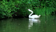 White swan video
