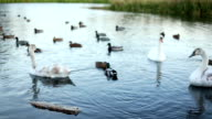 White swans and ducks slow motion video