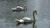 White swans continuously dunk underwater (High Definition) video