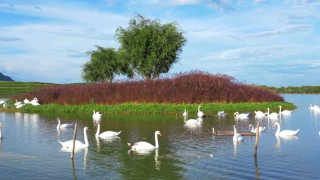 White swans on lake,Panning shot video