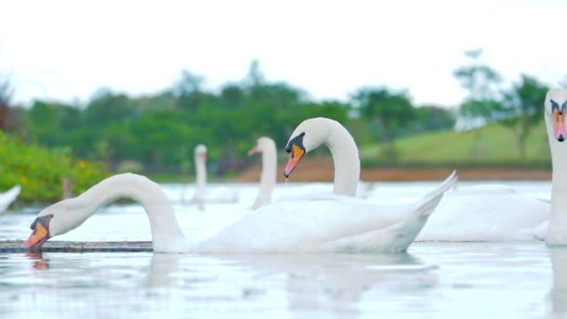 White swans on lake,Slow motion video