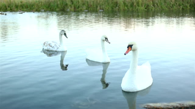 White swans on the lake slow motion video