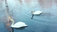 White swans on water. Birds couple. Winter landscape. Snow covered riverbank video