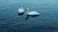 White swans swimming in lake. Swan couple. White birds on river video