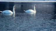 White swans swimming on frozen lake. Birds on blue water near ice video