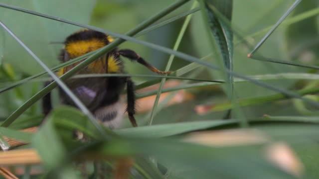 White tailed bumble bee, bombus terrestris video
