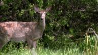 White tailed deer raises his head video