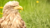 white tailed eagle head video