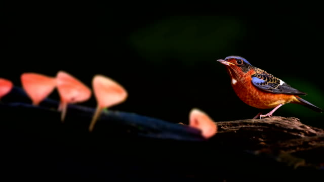 White throated Rock Thrush : Bird pearch on wood stump and body Stretch : 4k motion Parallax video