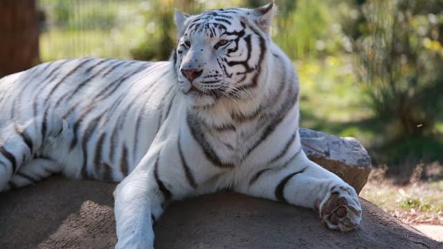 White Tiger Lying Down video