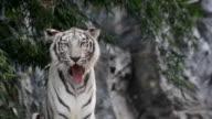 white tiger snarl video