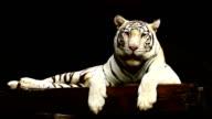 White tiger video