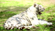 White tigress video