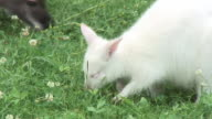 White wallaby video