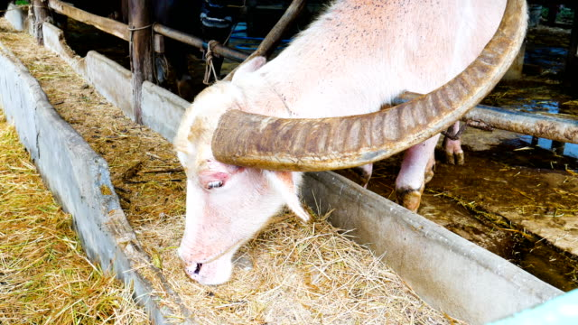 White water buffalo eating dried grass, rice straw in stables video
