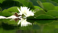 White water lily flowers in the lake video