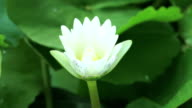 White Water Lily video