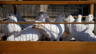 White wedding pigeons in cage, birds in captivity close up video