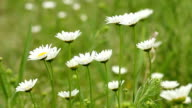 white wild flowers nature video