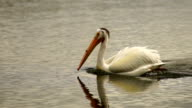 White Wild Pelican Bird Yellowstone River Animal Wildlife video